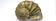Perlmuscheln zur Herstellung von Naturperlen